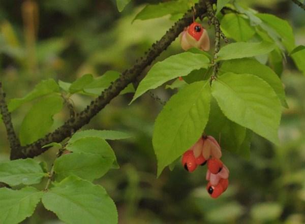 Бересклет Бородавчатый с цветками