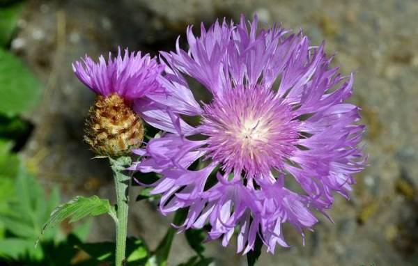 Василек Мускусный (Centaurea moshata)