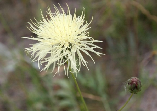 Василек Русский (Centaurea ruthenica)