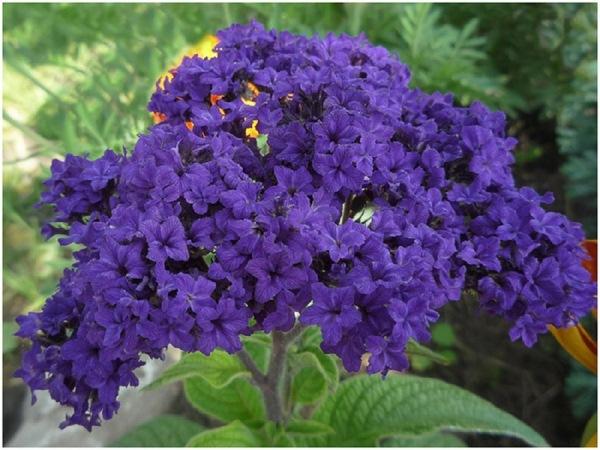 Гелиотропа цветов