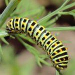 Гусеница гвоздичной листовертки
