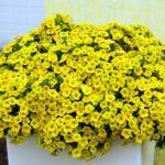 Жёлтая Каблум