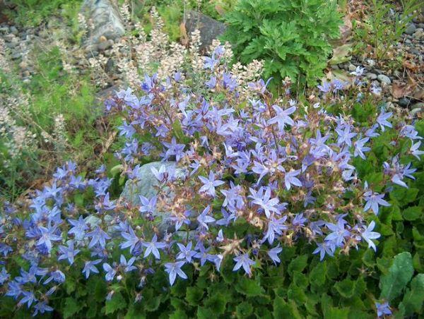 Колокольчик Круглолистый (Campanula rotundifolia)