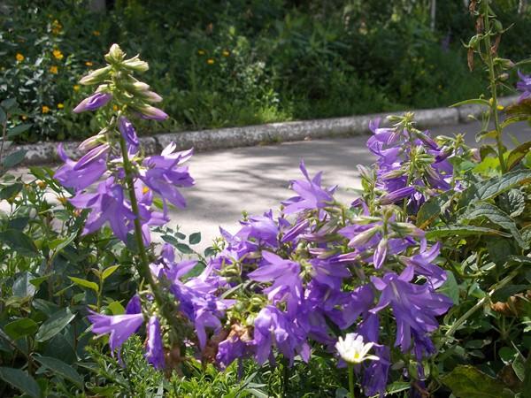 Колокольчик Широколистный (Campanula latifolia)