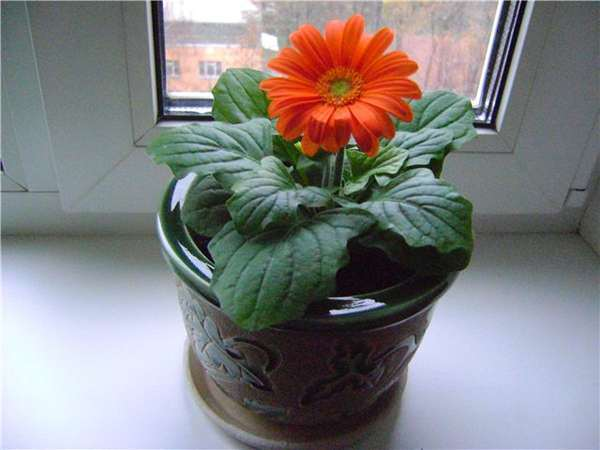 Гербера цветок уход в домашних условиях