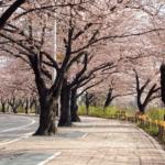 Корейская Сакура