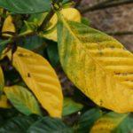 Листья желтеют