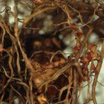 Нематоды на корнях гвоздики