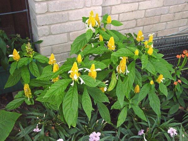 В марте-октябре дважды в месяц Пахистахис подкармливают минеральными комплексами для цветущих растений