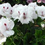 Пеларгония Королевская белая