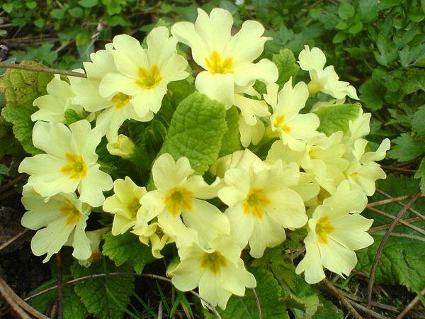 Примула или Первоцвет