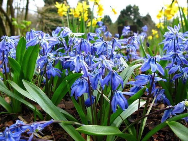 Пролеска Сибирская Spring Beauty