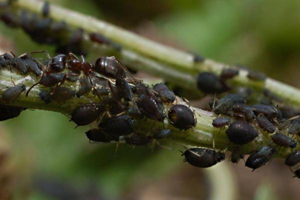 Вредитель цветка: бобовая тля