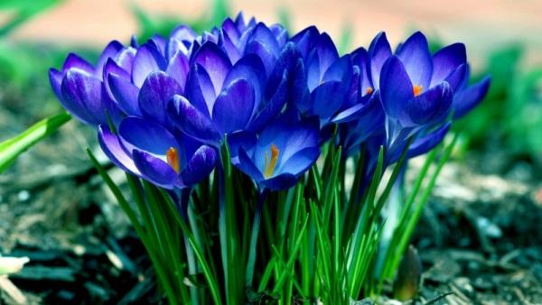 Синие крокусы