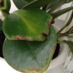 Сквозняки могут стать причиной почернения и засыхания кончиков листьев Пеперомии