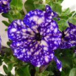 Фиолетовая пазушная