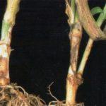 Фузариозная гниль стеблей гвоздики