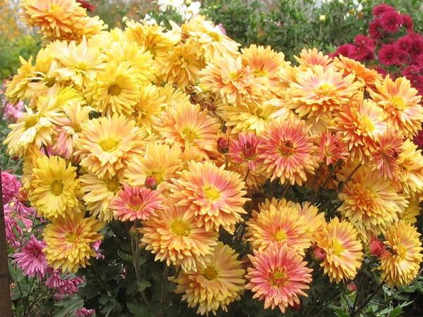 Хризантемы Виват Ботанику