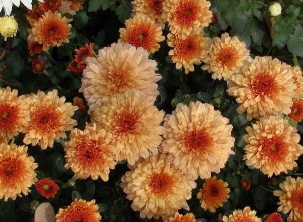 Хризантемы Дюна