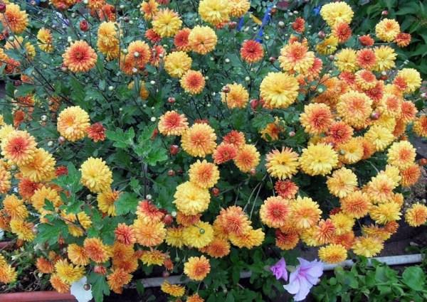 Хризантемы Корейские или Дубки