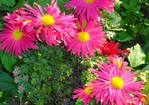 Хризантемы Мальчиш-кибальчиш