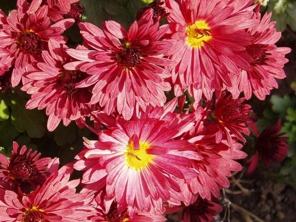 Цветы дубки низкорослые шаровидные