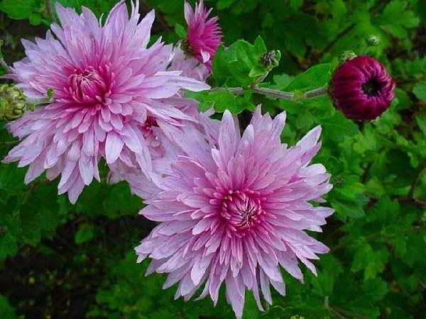 Хризантемы Скромность