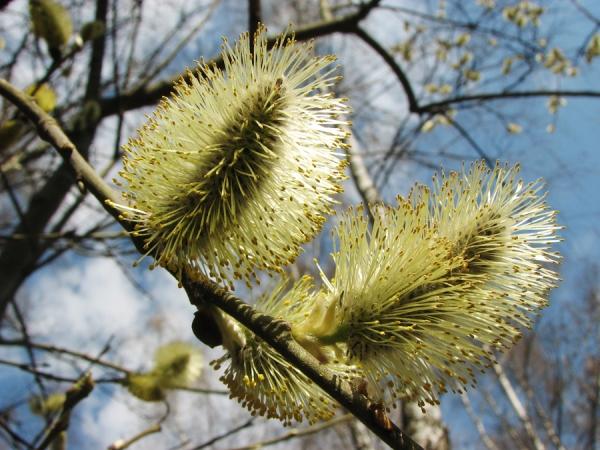 Цвет Козьей ивы