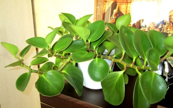 Поскольку Пеперомия является тропическим растением, оно любит тепло и плохо переносит сквозняки