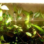 аквариум традесканция