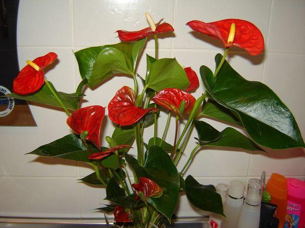 Фото и названия комнатных цветов с зелено красными листьями