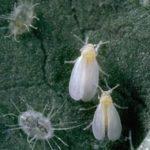 белокрылка лист