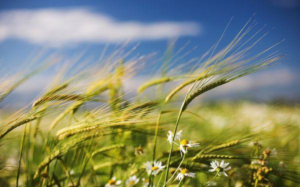 сильный ветер поле