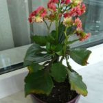 Увядающий цветок каланхоэ