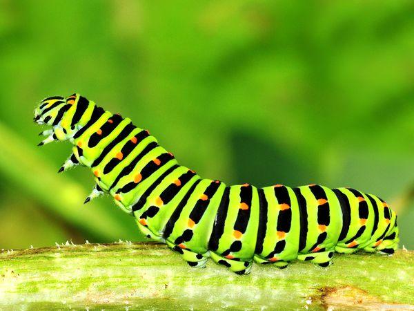гусеница лист