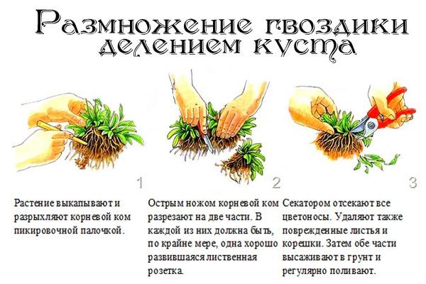 Размножение цветка делением куста