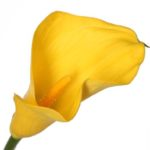 калла желтая