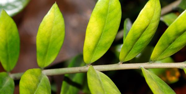 желтые листья замиокульскас