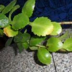 Пожелтела листва каланхоэ