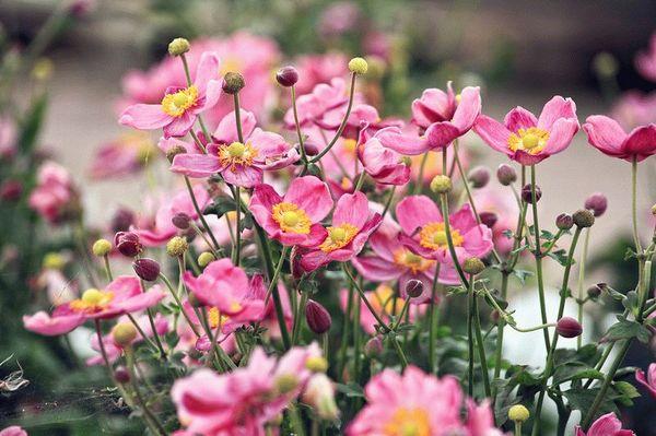 герань садовая