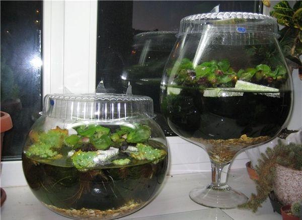 Эйхорния водяной гиацинт в аквариуме в квартире
