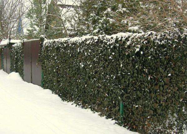 плющ зимой