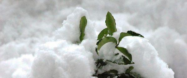 ардизия снег зима