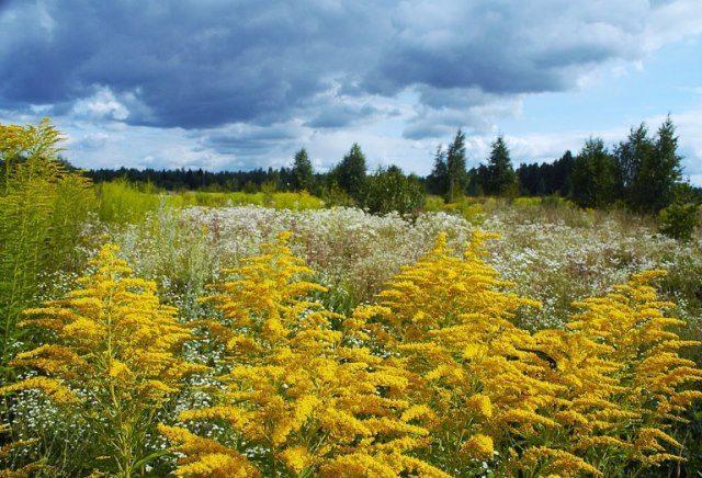 Цветы золотарника в поле