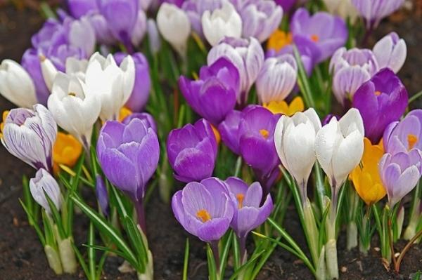 Ранней весной Крокусы первыми открывают свои хрупкие цветочки