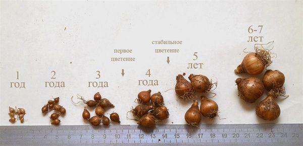 луковицы подснежника