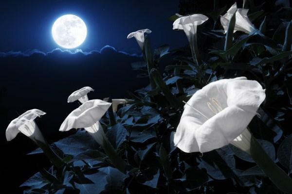 Ночной цветок Флокса