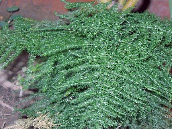 аспарагус перистый