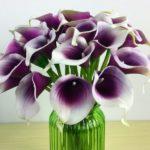 калла пурпурная