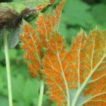 ржавчина листья